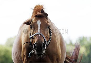 Gestuet Bruemmerhof  Pferd auf einer Weide schuettelt sich