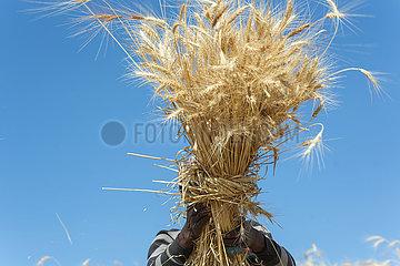 Adama  Oromiyaa  Aethiopien - Landwirtschaft  traditionelle Weizenernte