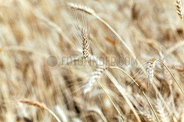 Adama  Oromiyaa  Aethiopien - Landwirtschaft  Weizenfeld