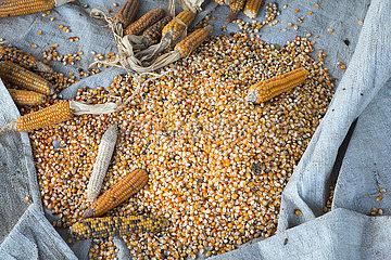 Belinkum  Gambela  Aethiopien - Geerntete Maiskolben