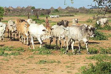 Burferedo  Somali Region  Aethiopien - Brahman-Kuhherde