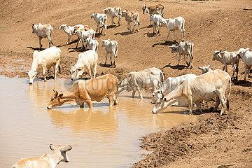 Burferedo  Somali Region  Aethiopien - Kuhherde an einer Wassertraenke