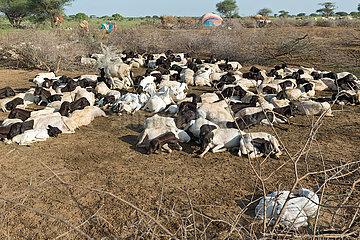 Burferedo  Somali Region  Aethiopien - Pastoralismus  Ziegenherde in einem Kral