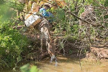 Burferedo  Somali Region  Aethiopien - Ein Esel  beladen mit Wasserkanister trinkt aus einem Fluss