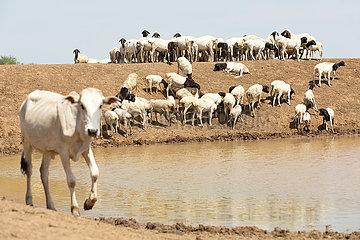 Burferedo  Somali Region  Aethiopien - Ziegenherde an einer Wassertraenke