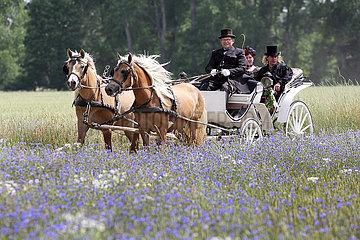 Luebben  Hochzeitskutsche faehrt an einem Kornblumenfeld vorbei