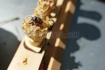 Berlin  Deutschland  Bienenkoenigin schluepft aus einer Weiselzelle eines Zuchtrahmens