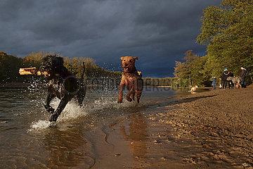 Berlin  Deutschland  Hunde spielen am Hundestrand des Grunewaldsee miteinander