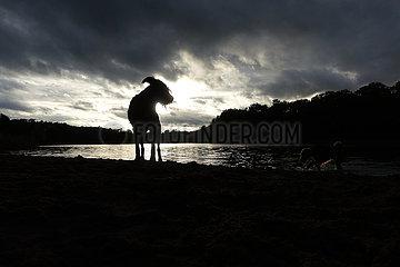 Berlin  Deutschland  Silhouette: Riesenschnauzer bei Regenwetter am Hundestrand des Grunewaldsee