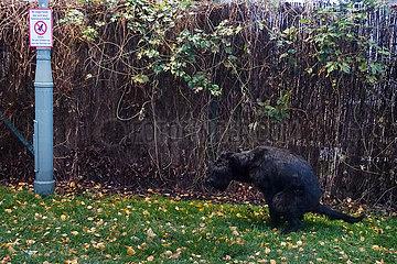 Berlin  Deutschland  Hund macht auf dem Rasen an einem Verbotsschild einen Haufen
