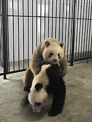 CHINA-SHAANXI-captive BROWN PANDA-QI ZAI-Natürliche Paarung (CN)