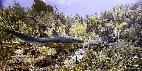Nurse sharks (Ginglymostoma cirratum)  viewed while scuba diving at Silk Caye  Placencia Peninsula; Belize