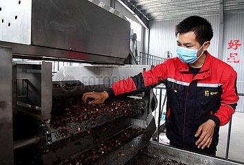 CHINA-HENAN-ZHENGZHOU-OIL-SEED-CAMELLIA INDUSTRY-Armutsbekaempfung (CN) CHINA-HENAN-ZHENGZHOU-OIL-SEED-CAMELLIA INDUSTRY-Armutsbekaempfung (CN)