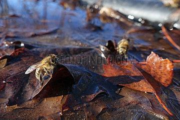 Berlin  Deutschland  Honigbienen saugen an einem milden Wintertag Wasser aus einer Pfuetze auf