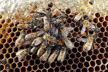 Berlin  Deutschland  tote Honigbienen und gezeichnete Bienenkoenigin auf einer Brutwabe