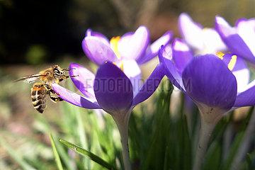 Berlin  Deutschland  Honigbiene sammelt Pollen aus einer violetten Krokusbluete