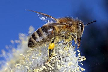 Neuenhagen  Deutschland  Honigbiene sammelt Pollen auf einem bluehenden Weidenkaetzchen der Salweide