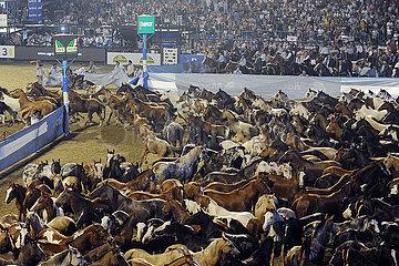 Jesus Maria  Pferdeherde wird beim Festival Nacional de la Doma y el Folclore aus einem Paddock in die Arena getrieben