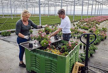Coronakrise  Topfblumen werden entsorgt  Kempen  Niederrhein  Nordrhein-Westfalen  Deutschland