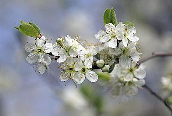 Neuenhagen  Deutschland  weisse Kirschblueten