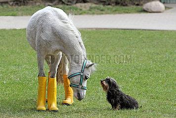 Neuenhagen  Deutschland  Pony in Gummistiefeln wartet mit seinem Freund dem Rauhaardackel auf Regen