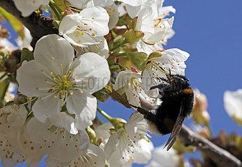 Neuenhagen  Deutschland  Dunkle Erdhummel sammelt Nektar aus einer weissen Kirschbluete
