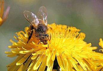 Neuenhagen  Deutschland  Honigbiene sammelt Pollen aus einer Loewenzahnbluete