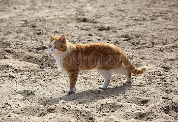 Hoppegarten  Hauskatze auf einem Sandpaddock
