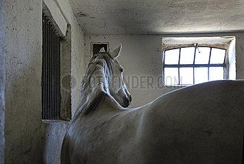 Hoppegarten  Pferd schaut aufmerksam zum Fenster seiner Box