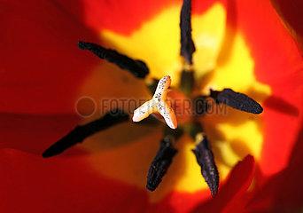 Neuenhagen  Deutschland  Stempel einer roten Tulpe