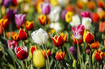 Tulpen bluehen auf Tulpenfeld  Grevenbroich  Nordrhein-Westfalen  Deutschland