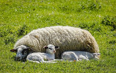 Schaf mit Laemmern auf der Wiese  Grevenbroich  Nordrhein-Westfalen  Deutschland