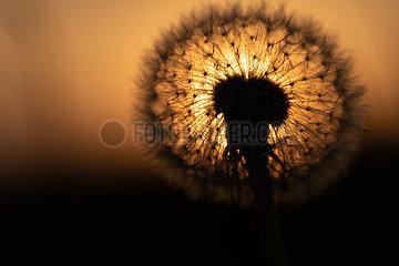 Pusteblume im Gegenlicht der Abendsonne