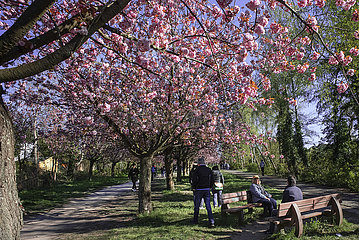 Kirschbluetenallee