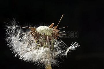 Neuenhagen  Deutschland  Reste von Samen einer Loewenzahnbluete