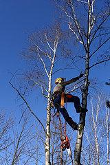 Berlin  Deutschland  Mitarbeiter des Gartenbauamtes klettert eine Birke hinauf