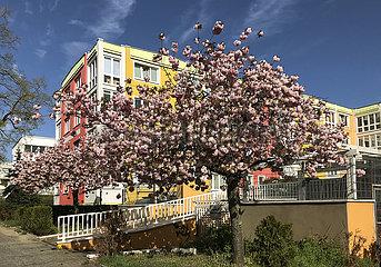 Berlin  Deutschland  Kirschbaum steht vor einem Mehrfamilienhaus in voller Bluete