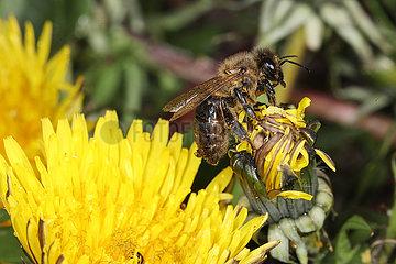 Neuenhagen  Deutschland  Honigbiene sitzt auf einer Loewenzahnbluete