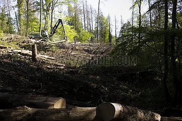Holzvollernter zerkleinert beschaedigte Baeume