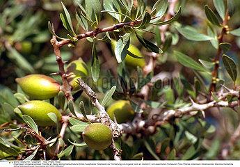 ARGANE PLANTE MEDICINALE ARGANIA MEDICINAL PLANT