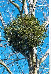 GUI PLANTE MEDICINALE MISTLETOE MEDICINAL PLANT