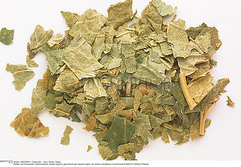 CASSIS PLANTE MEDICINALE BLACKCURRANT MEDICINAL PLANT