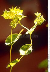 EUPHORBE PLANTE MEDICINALE EUPHORBIA MEDICINAL PLANT