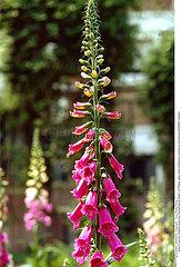 DIGITALE PLANTE MEDICINALE FOXGLOVE MEDICINAL PLANT