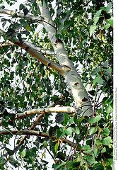 BOULEAU PLANTE MEDICINALE BIRCH MEDICINAL PLANT