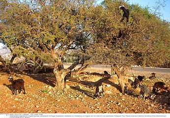 ARBRE ARGANIER TREE ARGANIA