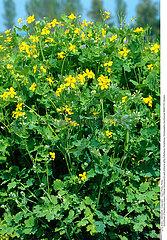 CHELIDOINE PLANTE MEDICINALE CELANDINE MEDICINAL PLANT