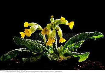PRIMEVERE PLANTE MEDICINALE COWSLIP MEDICINAL PLANT