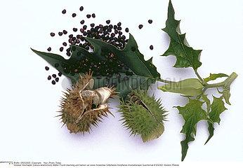 DATURA PLANTE MEDICINALE THORN APPLE MEDICINAL PLANT
