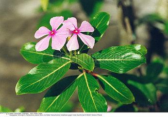 PERVENCHE PLANTE MEDICINALE PERIWINKLE MEDICINAL PLANT